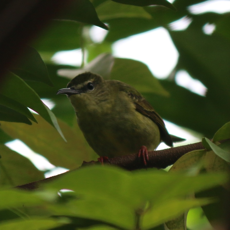 Red-legged Honeycreeper (female)