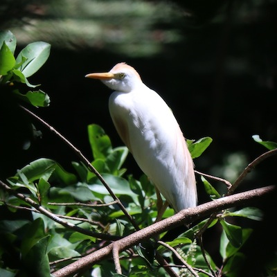 Cattle Egret (breeding male)
