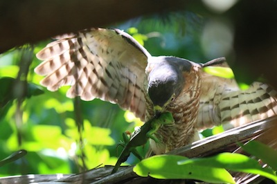 Roadside Hawk eating Green lizard