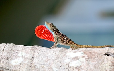 Anole displaying dulap