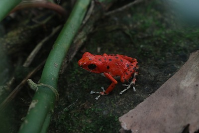 Strawberry poison dart red frog